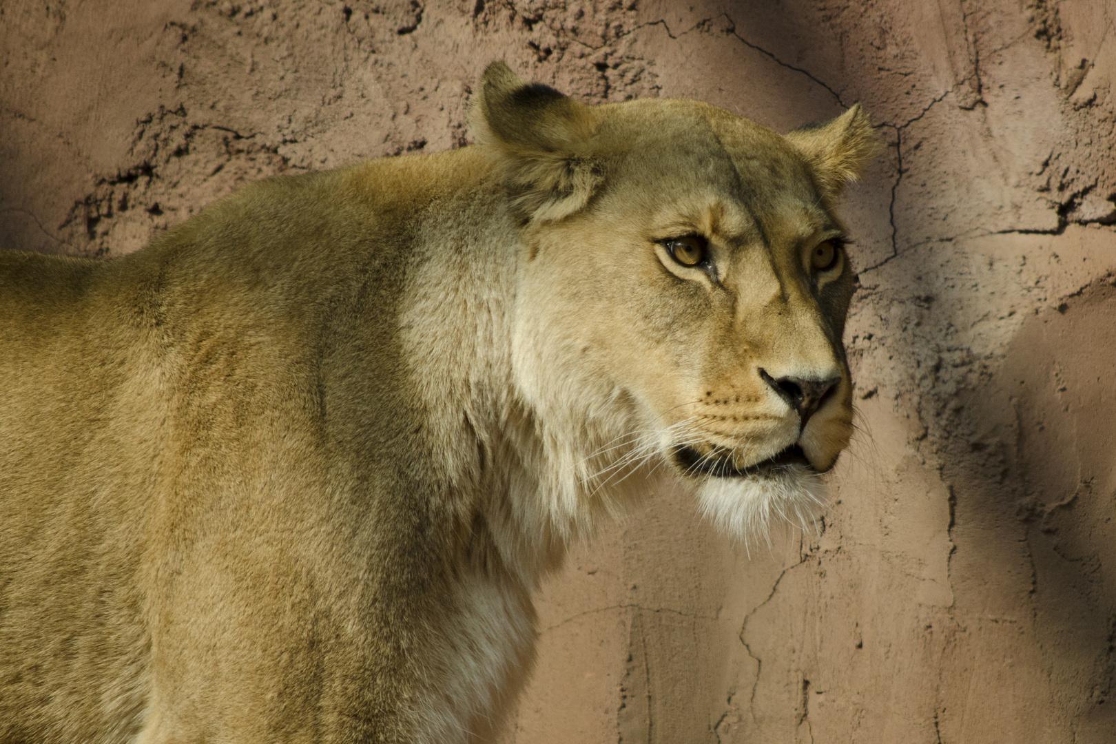 Löwendame aus EF