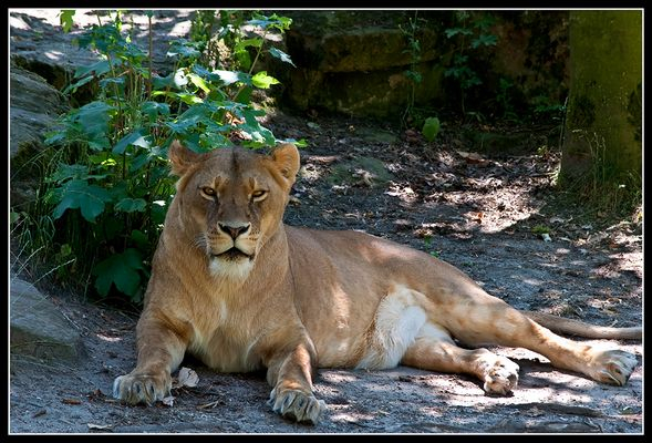 --Löwendame--