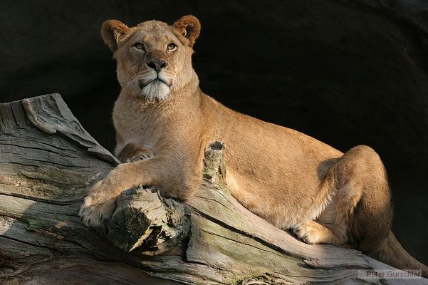 Löwen_Dame im Zoo