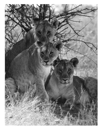 Löwendamen