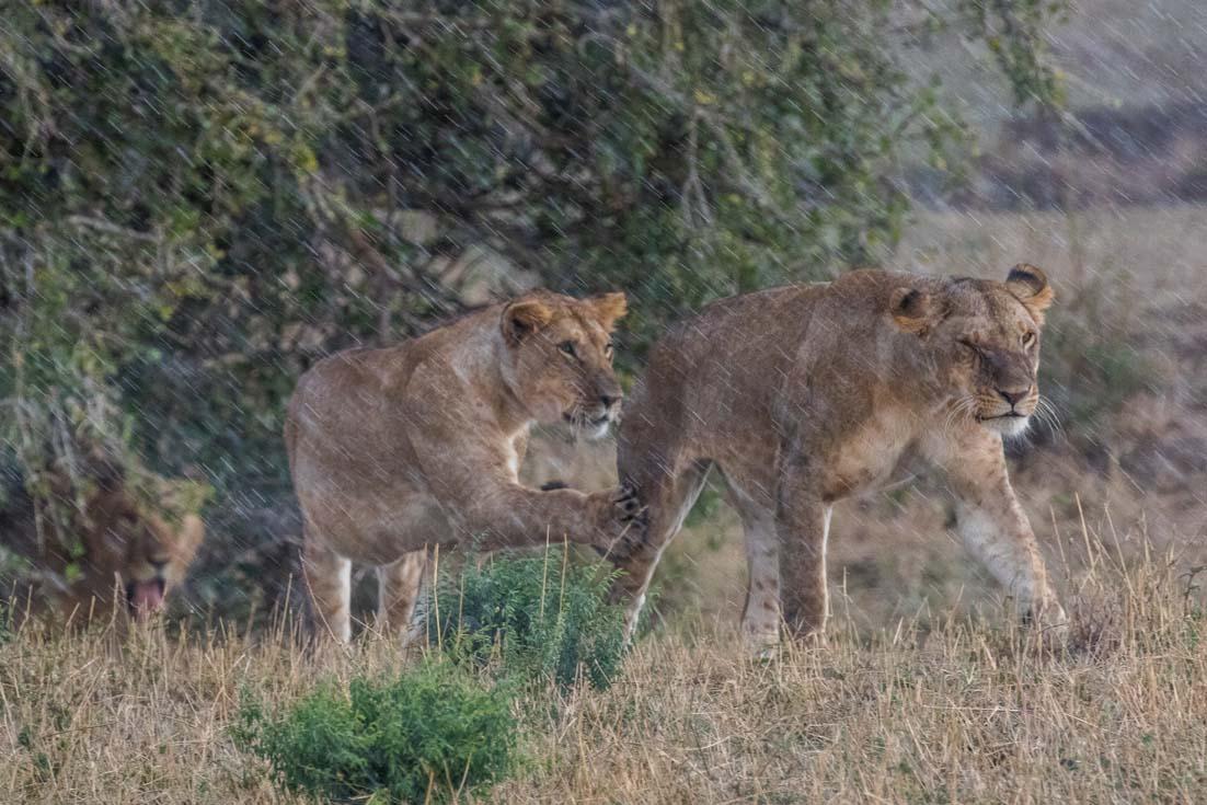 Löwenfamilie  im Regen in der Mara