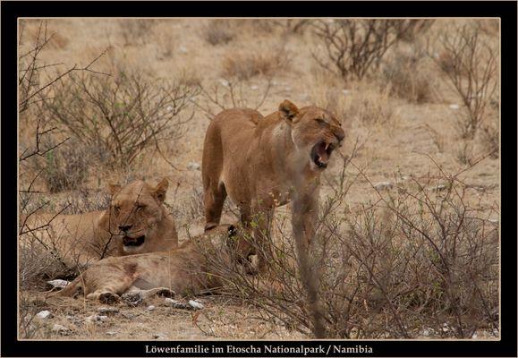 Löwenfamilie nach der Mahlzeit