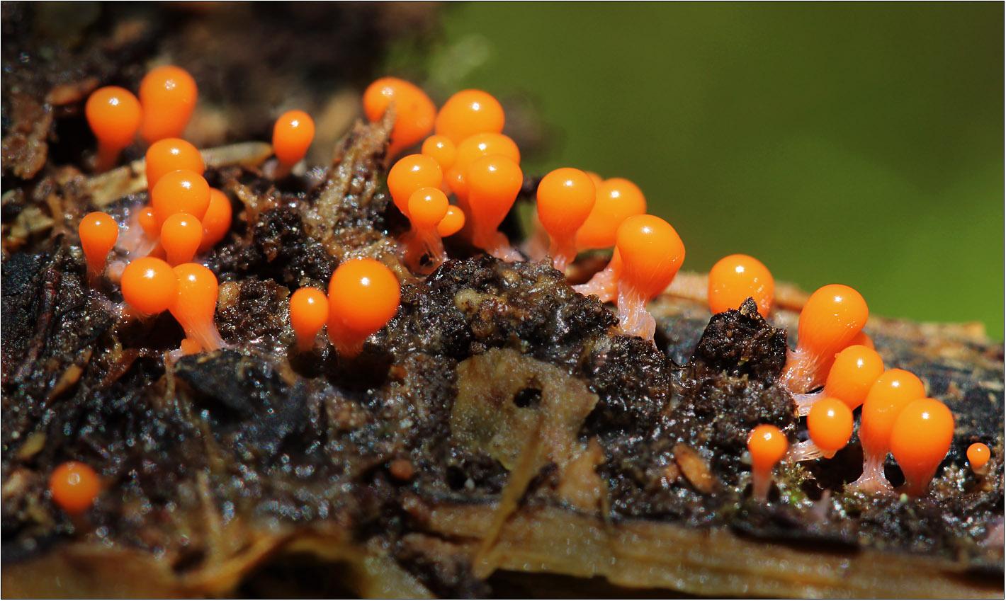 Löwenfrüchtchen (Leocarpus fragilis)