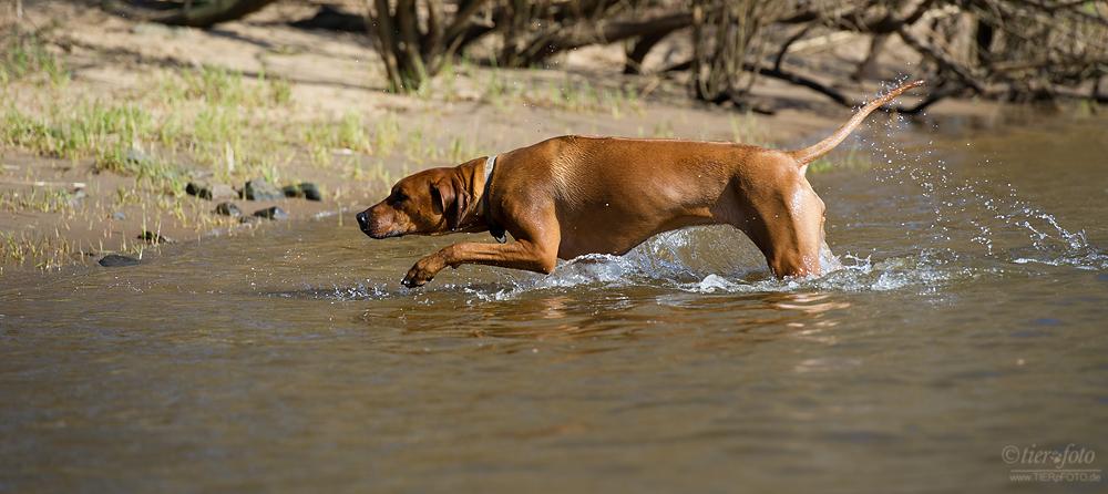 Löwenhund im Wasserloch