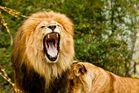 Löwenhunger