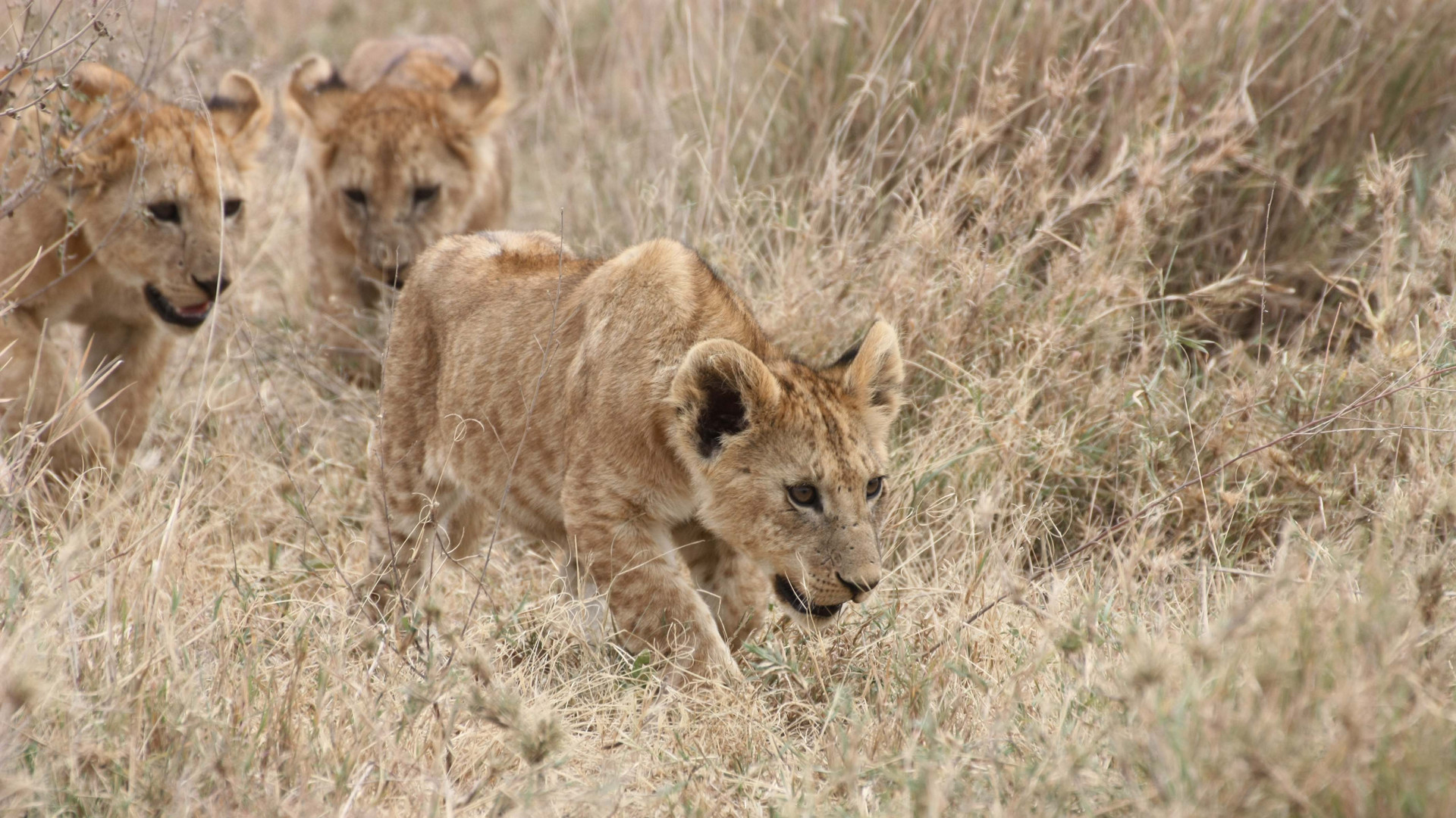 Löwenjunge 1