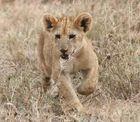 Löwenjunge 2