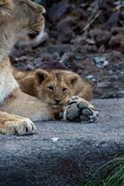 Löwenjunge an Mutter gekuschelt