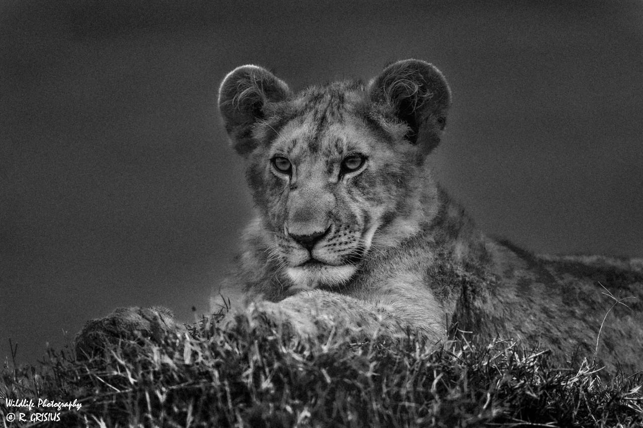 Löwenjunges