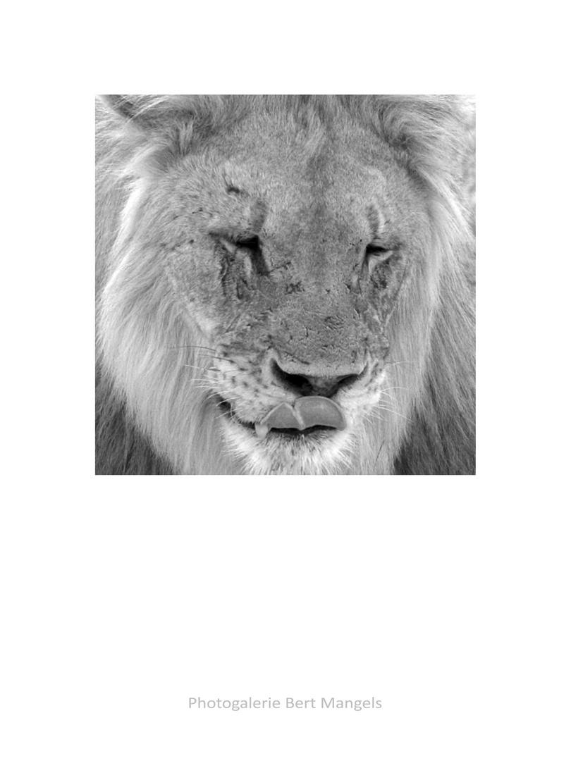 Löwenkater