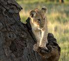 Löwenkind im Baum