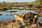 Löwenkinder in Afrika