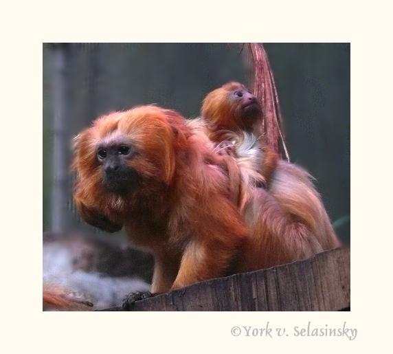 Löwenkopfäffchenbaby mit seiner Mama