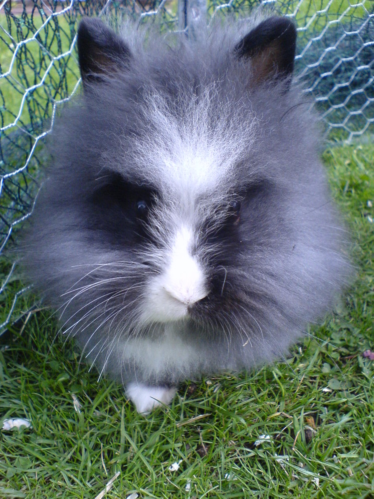 l wenkopfkaninchen foto bild tiere haustiere nagetiere kaninchen bilder auf fotocommunity. Black Bedroom Furniture Sets. Home Design Ideas