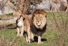 Löwenliebe 1