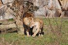 Löwenliebe 2