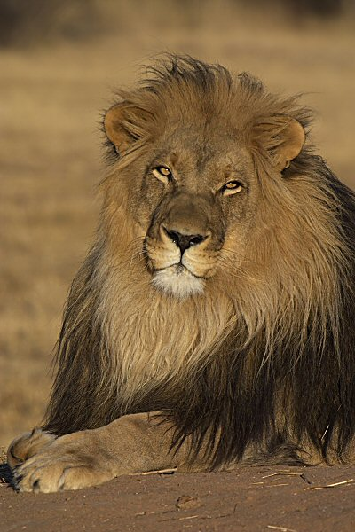 Löwenmännchen...