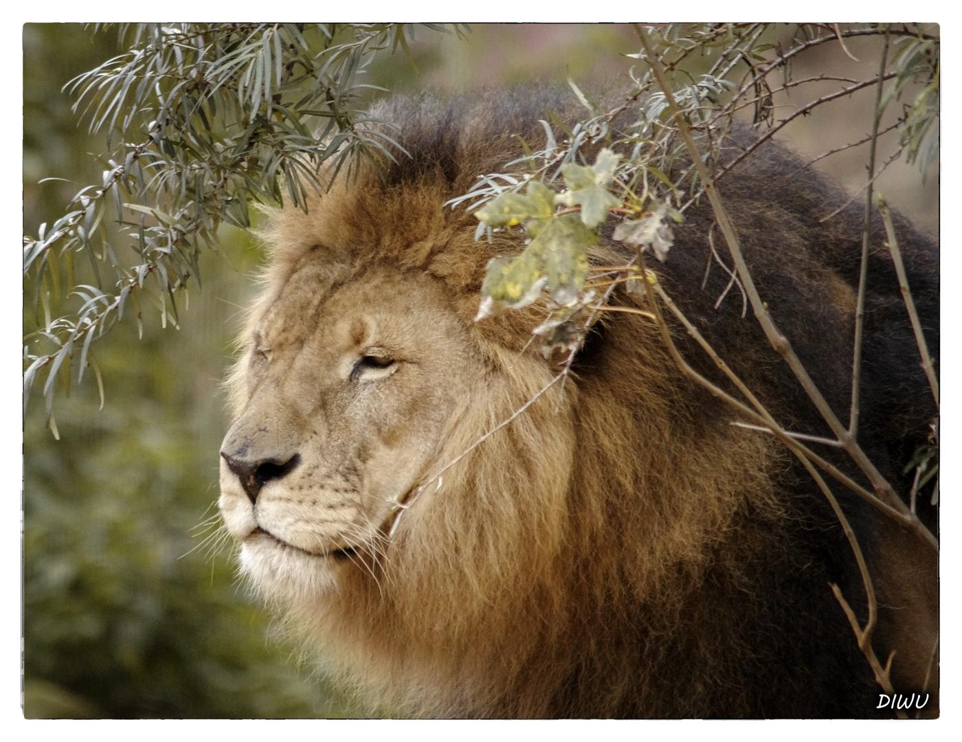 Löwenmännchen - Bild 2