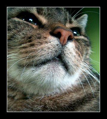 Löwenmäulchen   Katzenmäulchen