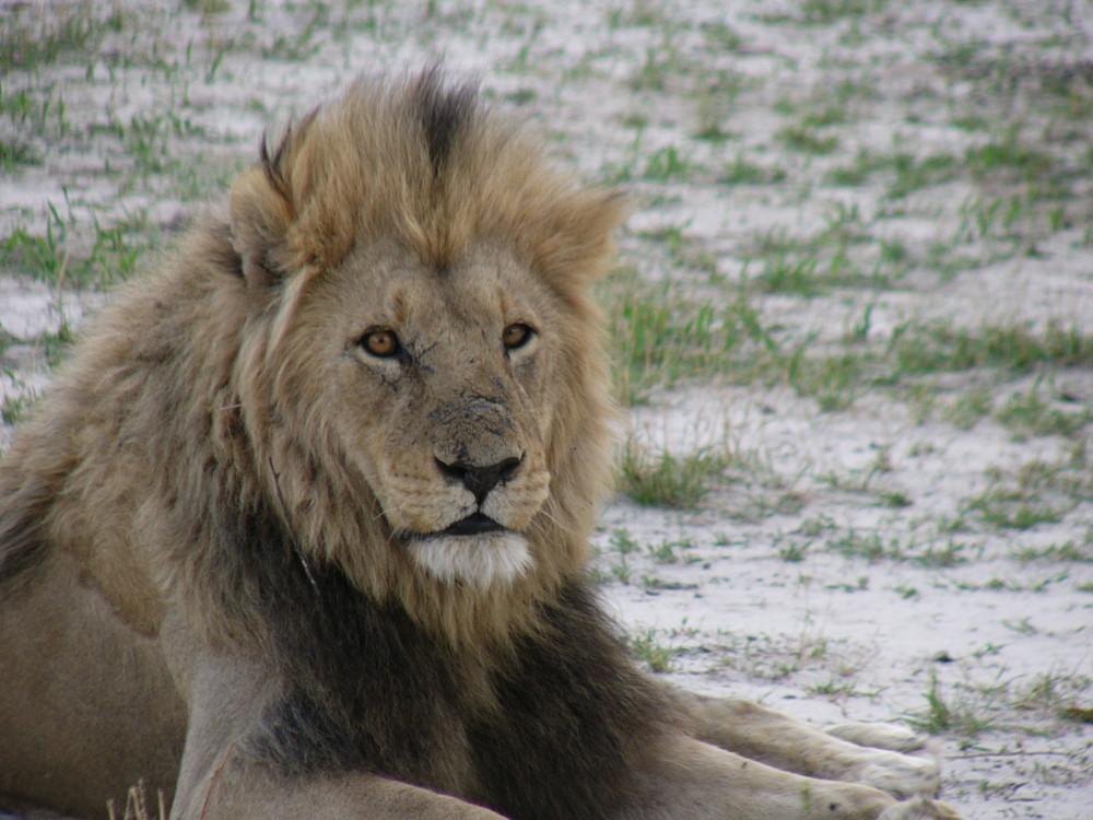 Löwenmann in Savuti