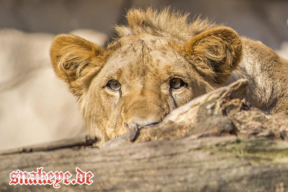 Löwenmutter chilled