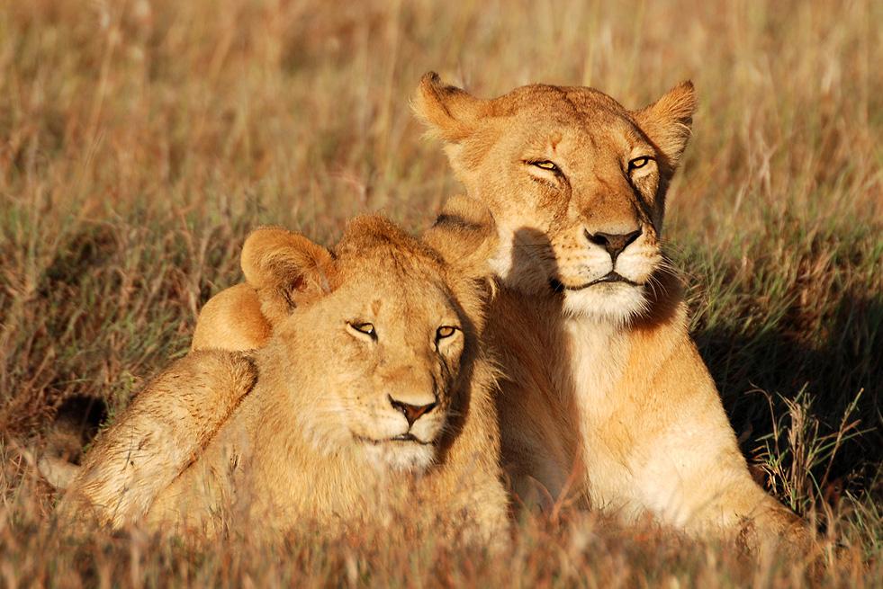 Löwenmutter mit Nachwuchs