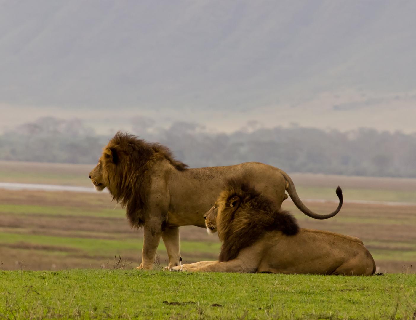 Löwen...na was wollen wir heute abend futtern?