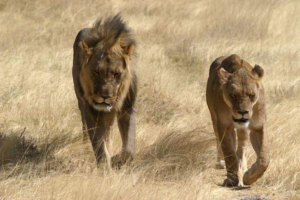 Löwenpaar auf dem Weg in den Schatten