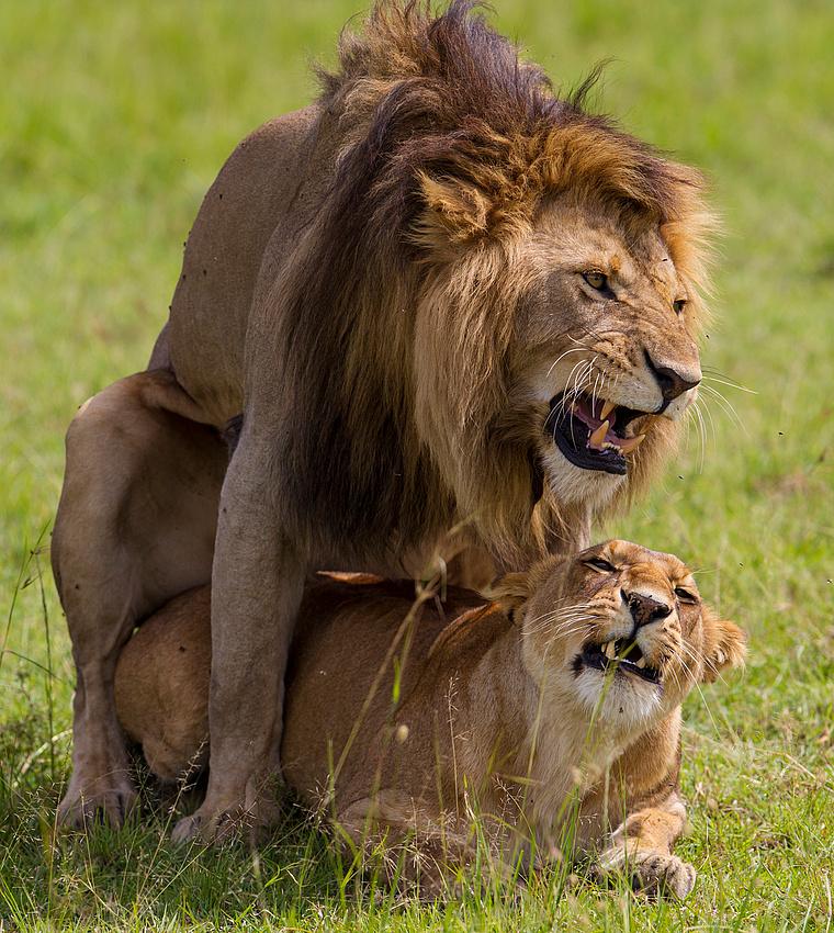 Löwenpaarung