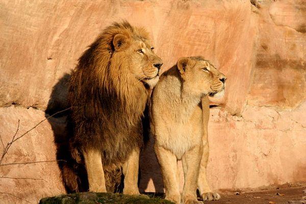 Löwenpäarchen