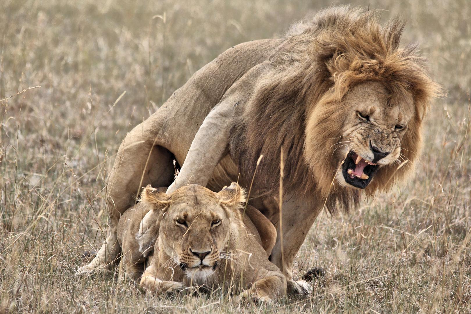 Löwenpärchen in der Masai Mara