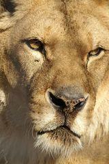Löwenportrait 1