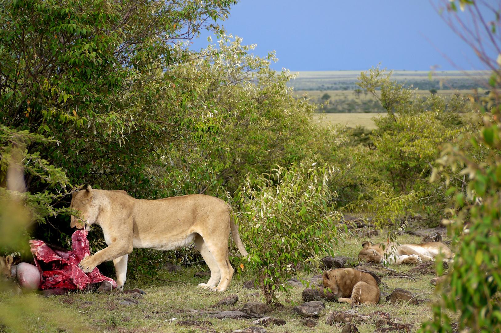 Löwenrudel am Riss