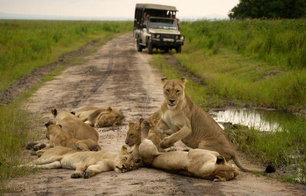 Löwenrudel im Katavi