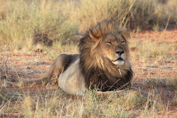 Löwenschmuck