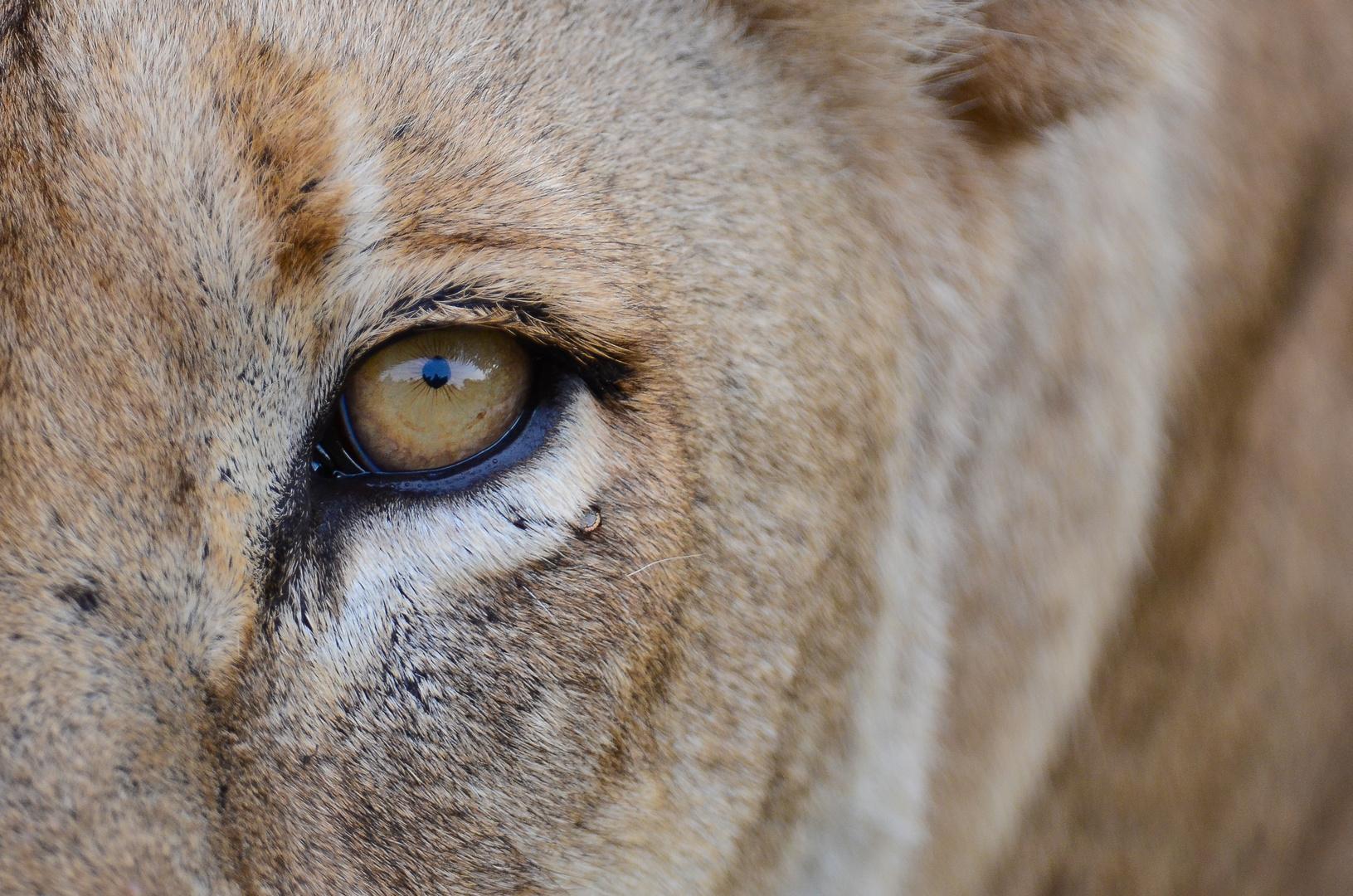 Löwenträne