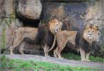 Löwenwäsche......