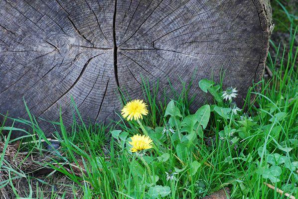 Löwenzahn am Holzstapel