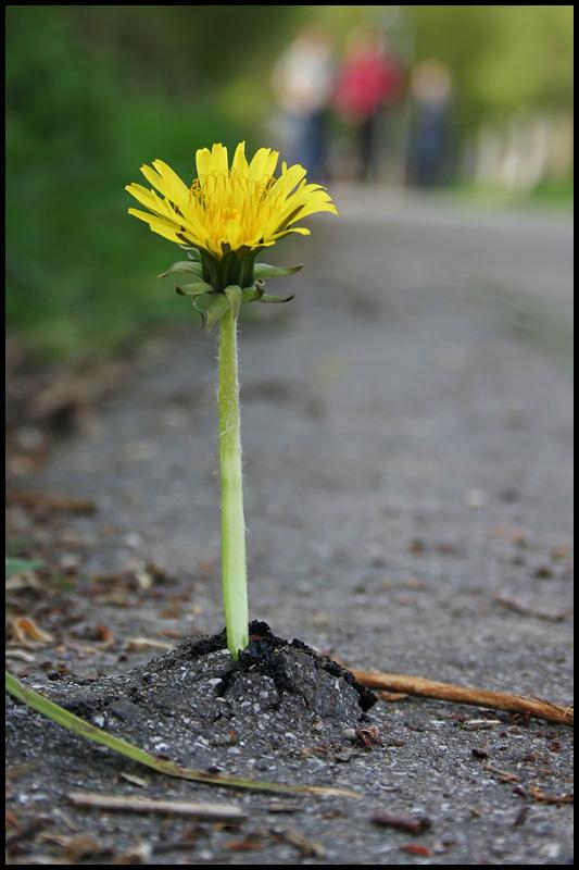 L wenzahn auf anabolika foto bild pflanzen pilze - Fliesenkleber auf bitumen ...