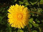 Löwenzahn-Blüte
