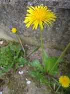 löwenzahn - mauerblümchen