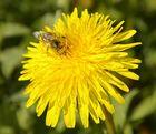 Löwenzahn mit gieriger Biene