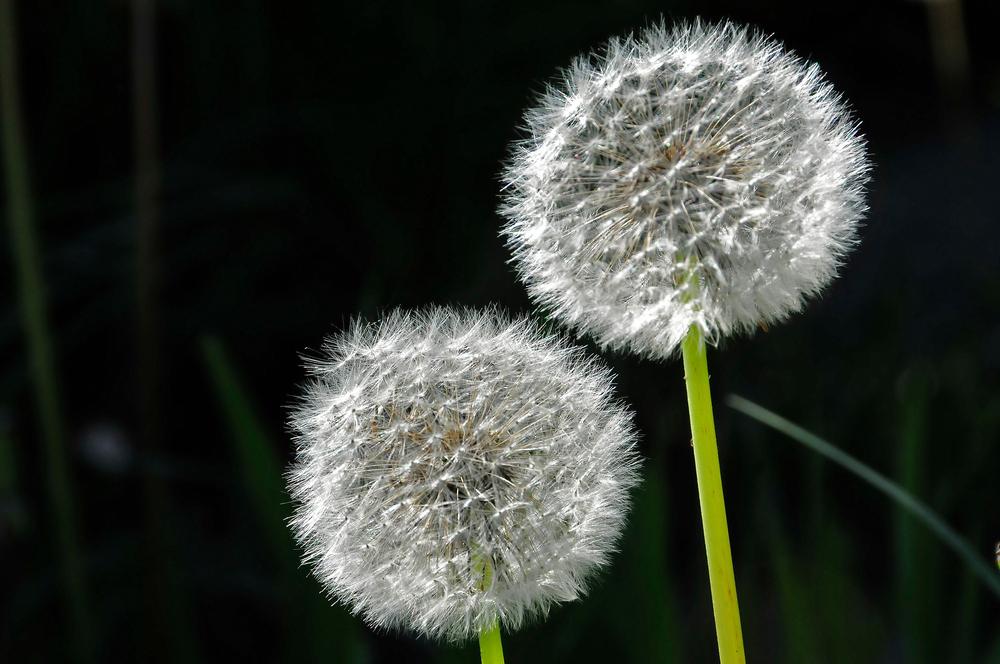 l wenzahn 39 pusteblume 39 foto bild pflanzen pilze flechten bl ten kleinpflanzen. Black Bedroom Furniture Sets. Home Design Ideas