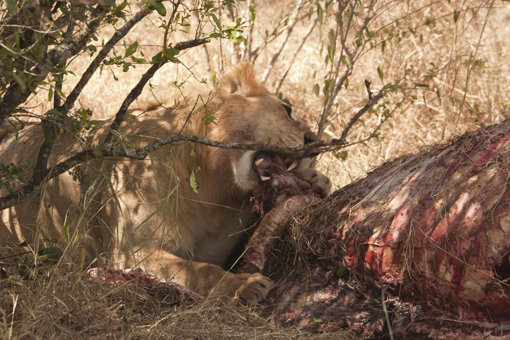 Löwie frißt Büffel