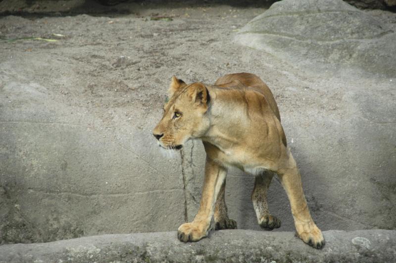Löwin am Abgrund