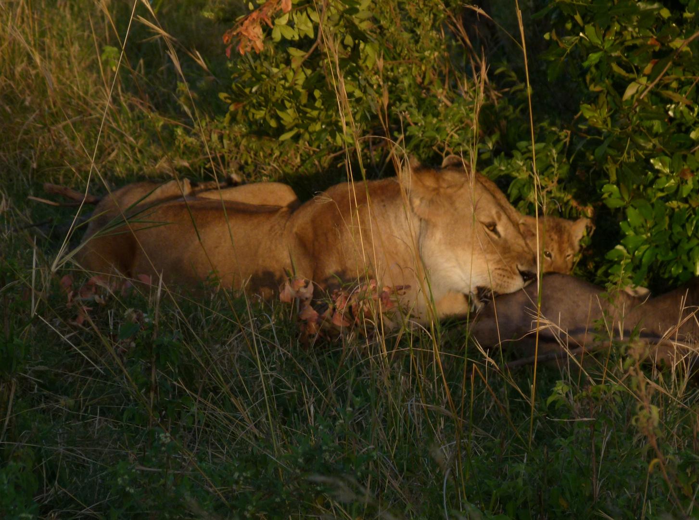 Löwin am erlegten Gnu mit Jungen in der Masai-Mara