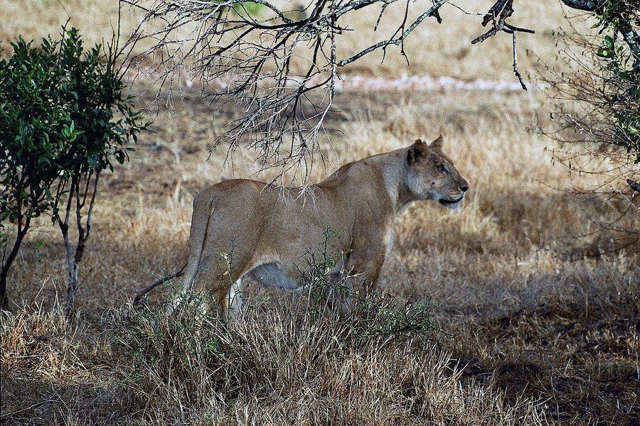 Löwin auf der Pirsch (Masai Mara)