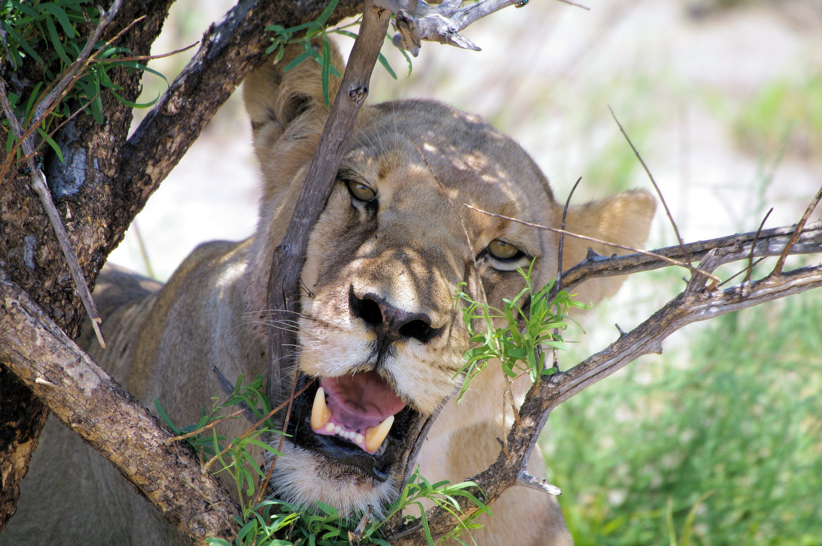 Löwin auf Schattensuche, Tau Pan Central Kalahari