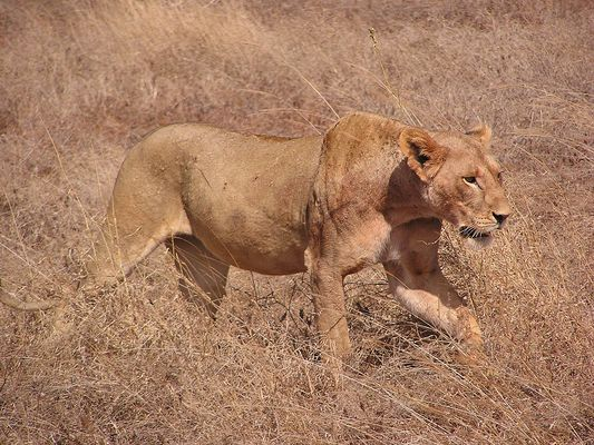 Löwin auf Streifzug