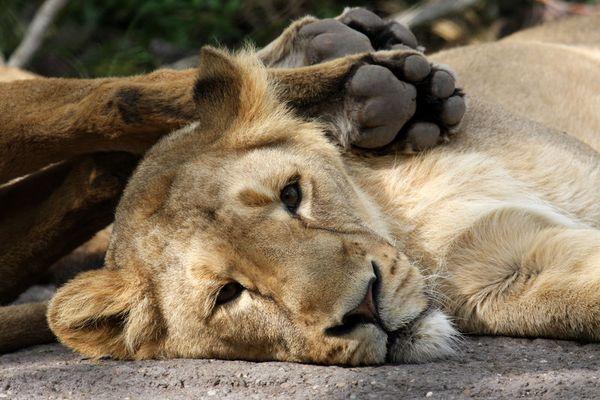 Löwin bei Siesta